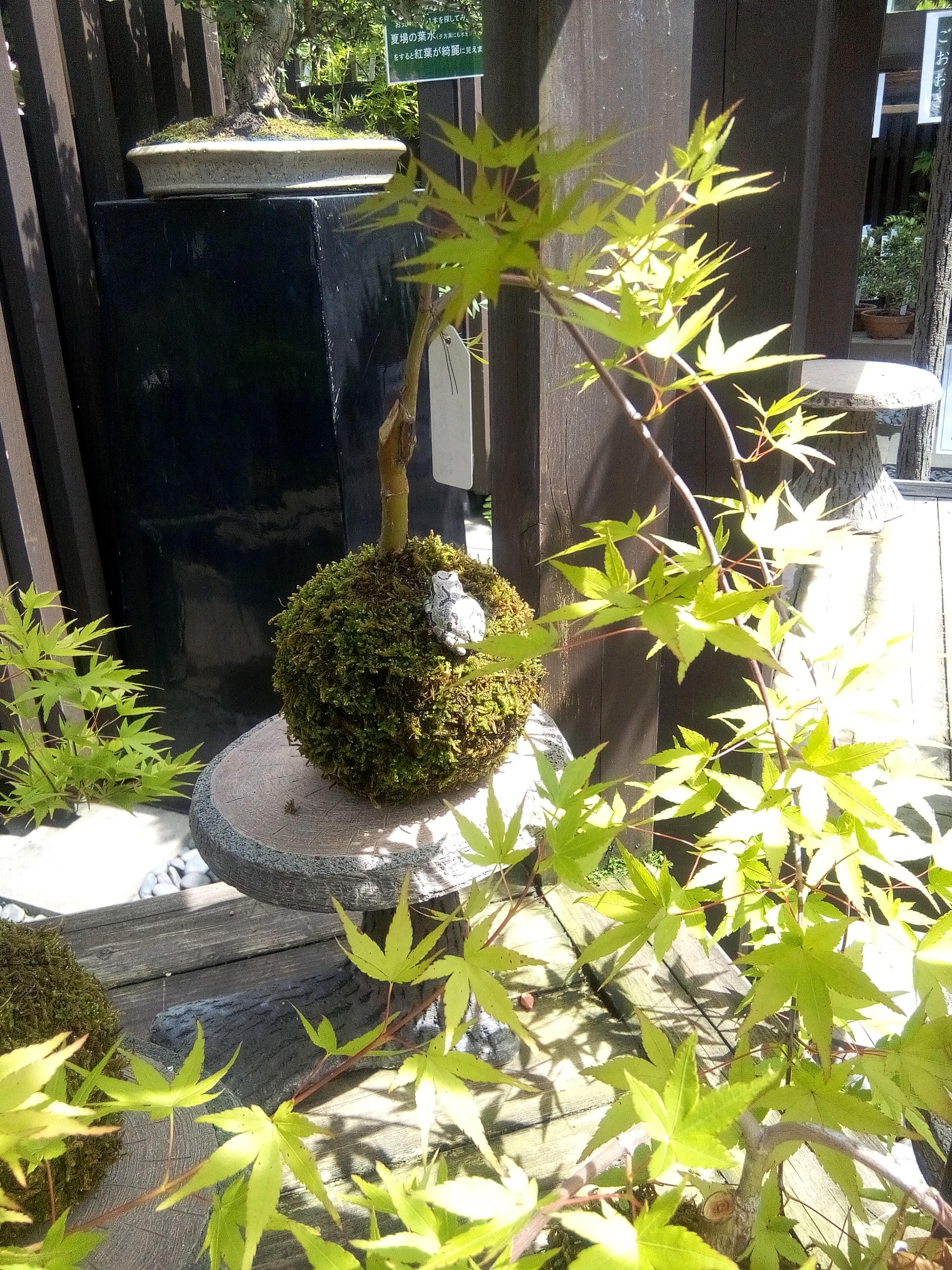 Petite grenouille prenant le soleil au pied du bonsaï